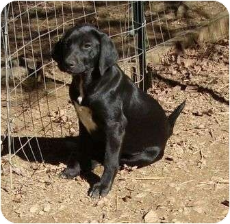 Labrador Retriever Mix Dog for adoption in Windham, New Hampshire - Cupcake