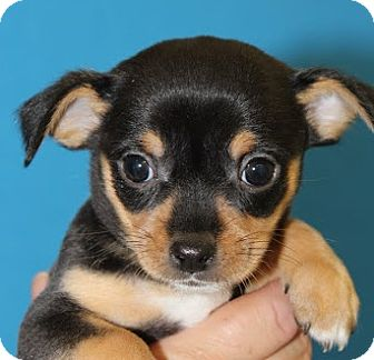 Chihuahua Mix Puppy for adoption in Broomfield, Colorado - Magnum