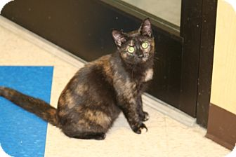 American Shorthair Cat for adoption in Foster, Rhode Island - Prim Rose