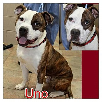 American Bulldog/Pit Bull Terrier Mix Dog for adoption in Garden City, Michigan - Uno