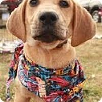Adopt A Pet :: Lucille Ball (you cant resist - Staunton, VA