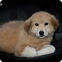 Adopt A Pet :: Pushinka - Flowery Branch, GA