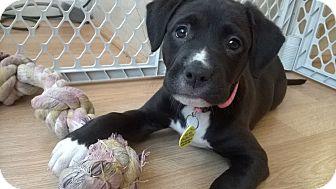 Pit Bull Terrier/Labrador Retriever Mix Puppy for adoption in Sacramento, California - Amy!