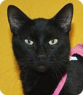Domestic Shorthair Cat for adoption in Jackson, Michigan - Candy Cane
