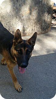 German Shepherd Dog Dog for adoption in Gustine, California - RAMBO