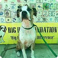 Adopt A Pet :: Bart - Santa Barbara, CA