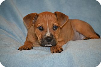 Boxer Mix Puppy for adoption in Albemarle, North Carolina - Clyde