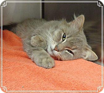 Domestic Mediumhair Cat for adoption in Marietta, Georgia - CAESAR aka Pedro - reclaimed