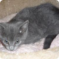 Adopt A Pet :: Jacob BlueCat - Dallas, TX