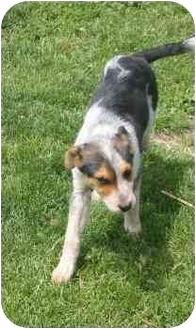 Border Collie/Australian Cattle Dog Mix Dog for adoption in Lamar, Nebraska - Chaos