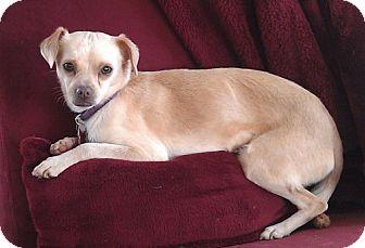 Chihuahua/Dachshund Mix Dog for adoption in Cedar Rapids, Iowa - Ellie/Lucy