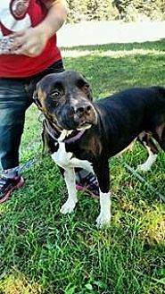 Pit Bull Terrier Mix Dog for adoption in Traverse City, Michigan - ANGEL
