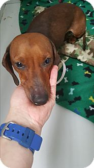 Dachshund Mix Dog for adoption in Brownsville, Texas - Faye