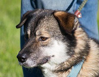 Siberian Husky Mix Dog for adoption in Harvard, Illinois - Sampson (and Delilah)