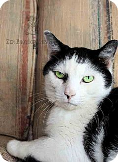 Domestic Shorthair Cat for adoption in Hoover, Alabama - Manny