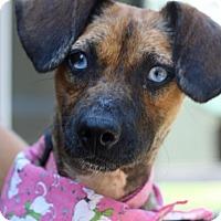 Australian Shepherd Mix Dog for adoption in West Grove, Pennsylvania - Skye