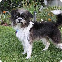Adopt A Pet :: MOWGLI - Newport Beach, CA