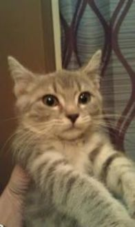 Domestic Shorthair/Domestic Shorthair Mix Cat for adoption in Harrisonburg, Virginia - Ferdinando