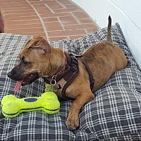 Adopt A Pet :: Scarlett - beverly hills, CA