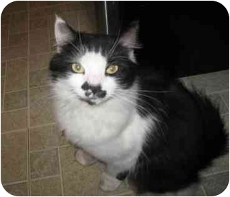 Domestic Mediumhair Cat for adoption in Cranston, Rhode Island - Grocho Marks