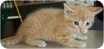 Domestic Shorthair Kitten for adoption in North Judson, Indiana - Catcher