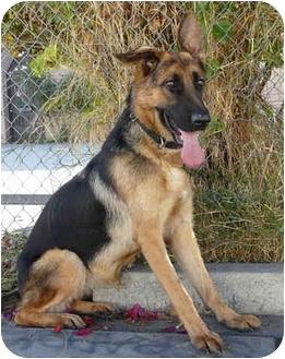 German Shepherd Dog Dog for adoption in Los Angeles, California - Serena von Verdenberg
