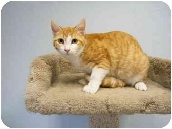 Domestic Shorthair Cat for adoption in Modesto, California - Patty