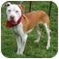 Photo 4 - American Bulldog/American Pit Bull Terrier Mix Dog for adoption in Portland, Oregon - Jersey