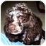 Photo 1 - Cocker Spaniel Dog for adoption in Cincinnati, Ohio - Lady