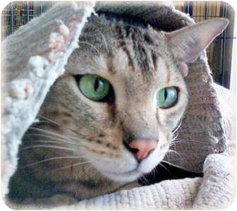 Bengal Cat for adoption in Brighton, Michigan - Ben