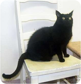 Domestic Shorthair Cat for adoption in San Clemente, California - SIMONE