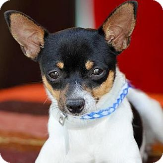 Rat Terrier Mix Puppy for adoption in Lake Forest, California - Peggy Sue