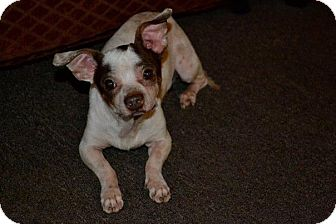 Chihuahua/Dachshund Mix Dog for adoption in San Diego, California - Tommy