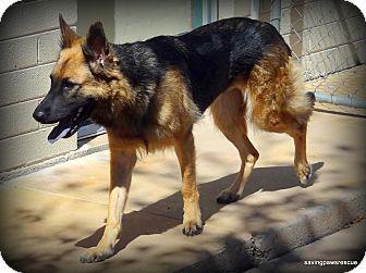 German Shepherd Dog Dog for adoption in Phoenix, Arizona - Lola
