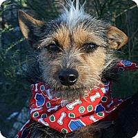 Adopt A Pet :: Ziggy - Canoga Park, CA