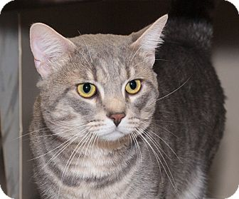 Domestic Shorthair Cat for adoption in Elmwood Park, New Jersey - Miti