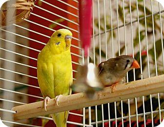 Finch for adoption in Sierra Vista, Arizona - Keet & Finch
