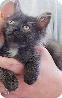 Domestic Shorthair Kitten for adoption in Knoxville, Tennessee - Tippy
