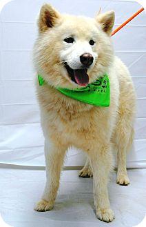 Samoyed Mix Dog for adoption in Spring City, Pennsylvania - Apollo