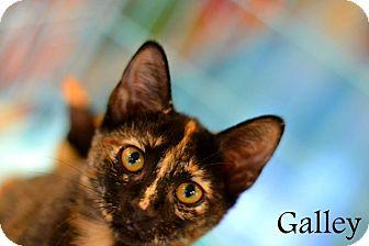 Domestic Mediumhair Kitten for adoption in Mansfield, Texas - Galley