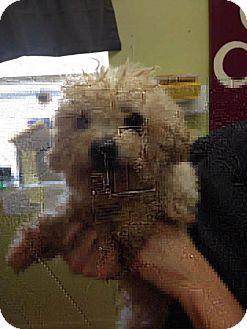 Poodle (Miniature) Dog for adoption in Newburgh, Indiana - Kringle
