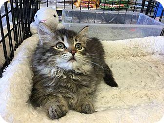 Domestic Shorthair Kitten for adoption in Gilbert, Arizona - Kelly