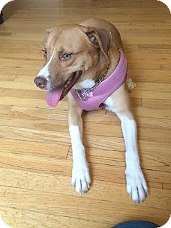 Labrador Retriever/Corgi Mix Dog for adoption in Sturbridge, Massachusetts - Sandy