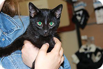 Domestic Shorthair Cat for adoption in Rochester, Minnesota - Sebastian