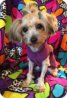 Yorkie, Yorkshire Terrier/Poodle (Miniature) Mix Dog for adoption in Statewide and National, Texas - Bobbie Ann