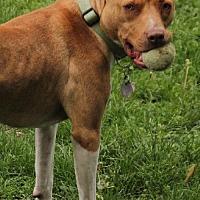 American Pit Bull Terrier Mix Dog for adoption in Eden Prairie, Minnesota - Maggie (fka Cinnamon) D122208
