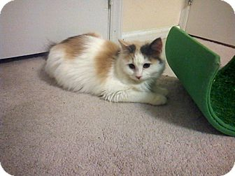 Domestic Longhair Kitten for adoption in Raleigh, North Carolina - RUBY