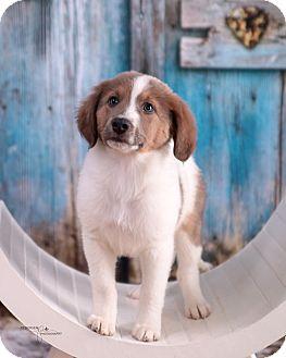 Collie/Shepherd (Unknown Type) Mix Puppy for adoption in Brattleboro, Vermont - Elvis