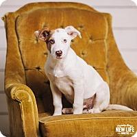 Adopt A Pet :: Barley - Portland, OR