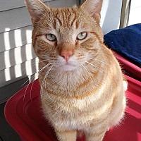 Adopt A Pet :: Mango - Aylett, VA